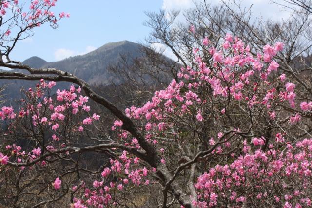なお、ツツジの種類や見分け方については、高橋修氏のコラム「ツツジの花の見分け方のポイント」もぜひ、参考にしてほしい。