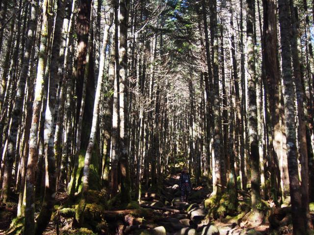欝蒼とした原生林…コセイタカスギゴケが代表格の高見の森 - 苔の森 ...