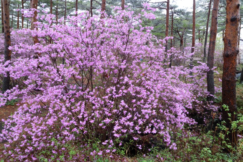 春から初夏にかけて、山の斜面を彩る代表的な花の1つが「ツツジ」だ。一口にツツジと言っても、さまざまなも種類があるが、その見分け方をご存じだろうか?