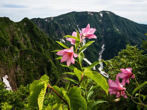 稜線をヒメサユリが彩る浅草岳