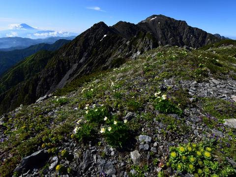 山開き直後の北岳でキタタケソウに会う