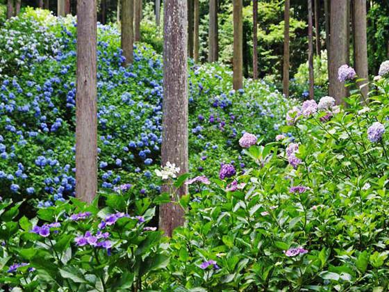 梅雨の季節に 1万株のアジサイ咲く