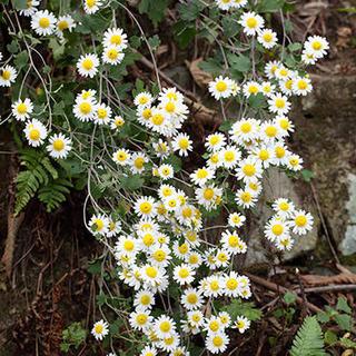 低山ならまだ見られるかも・・・!? 初冬に咲く花の話。