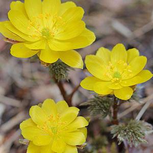 高性能なパラボラアンテナを持つ、孤高で難易度が高い花