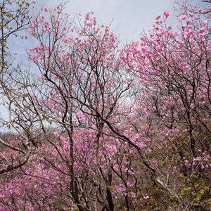 冬枯れの雰囲気の山に、ピンク色の花を咲かせるツツジ「アカヤシオ」